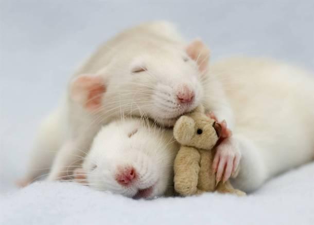el reiki mejora el rítmo cardiaco en ratas